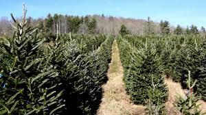 tom sawyer christmas tree farm sawyer family farmstead