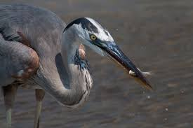 Heron Meaning by Five Great Lakes Species Facing A New Threat From Big Oil The