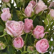 roses wholesale of pink wholesale spray roses