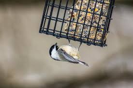 the birds of winter new hampshire public radio