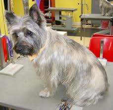 72 best terrier grooming hairstyles images on pinterest dog