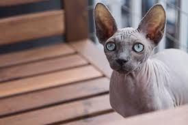Popular Gato Sem Pelos: Saiba Tudo Sobre o Gato Sphynx | Mapa dos Bichos @UV02