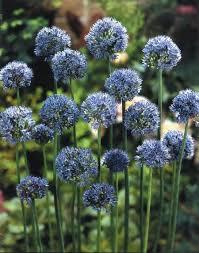 allium azureum ornamental blue globe from bloem gardens