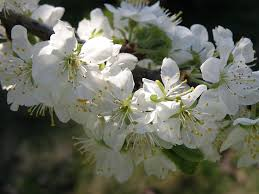 white cherry blossom white cherry blossoms free photos absolutely for about