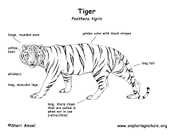 snow tiger coloring page diagram of snow tiger wiring library
