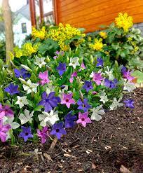 Vinca Flower Information - 28 best flores vinca images on pinterest garden plants
