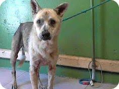 australian shepherd los angeles rescue los angeles ca australian shepherd mix meet a1426796 a dog for