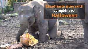 elephants enjoy pumpkin treats for halloween youtube