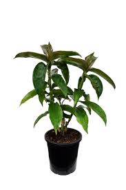 bamboo land nursery and parklands dichorisandra thyrsiflora blue ginger bamboo land nursery qld
