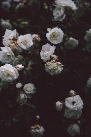 halloween black roses best 25 black roses ideas on pinterest black rose flower