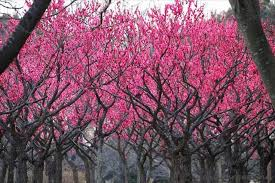 the colorful of japanese trees nature babamail