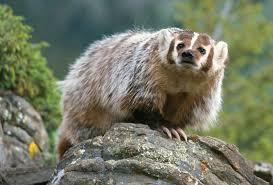 american badger carnivora pinterest animal wildlife and