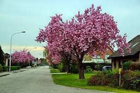 decorative trees ornamental trees al nature s artistic display for