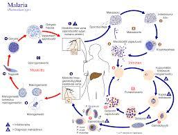 Cdc Malaria Map File Plasmodium Kierto Png Wikimedia Commons