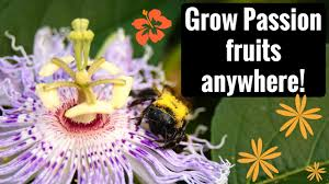 native plants passionflower vine grows growing harvesting and eating maypop hardy passion fruit youtube