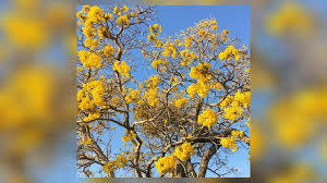 Yellow Flowering Trees - tabebuia trees flowering blooms a sign of south florida spring