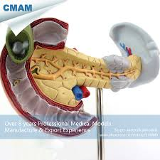 Anatomy Pancreas Human Body Compare Prices On Pancreas Medication Online Shopping Buy Low