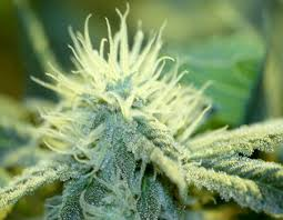 marijuana trichomes the cannabis plant cannabis marijuana for medical use