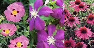 beautiful plants 15 beautiful plants with purple flowers pyracantha co uk