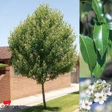 20 types of flowering pear trees cherry tree varieties
