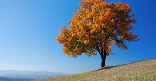 best fall colored trees to plant now prescott living magazine