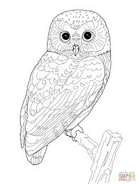 northern saw whet owl coloring page free printable coloring pages
