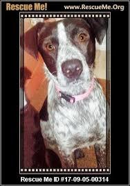 bluetick coonhound dander oklahoma bluetick coonhound rescue u2015 adoptions u2015 rescueme org