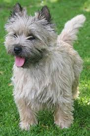 brindle cairn haircut cairn terriers what s good about em what s bad about em