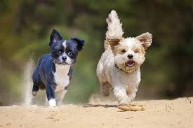 bichon frise shih tzu mix for sale maltese shih tzu dog breed information pictures characteristics