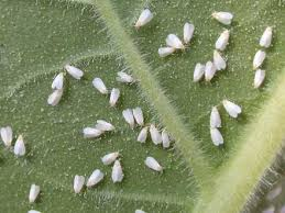 Plant Diseases Identification - the north carolina plant disease and insect clinic