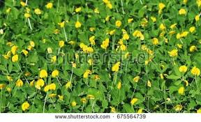 arachis stock images royalty free images vectors