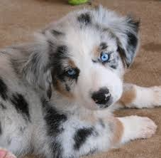 australian shepherd puppies for sale los angeles rockin u0027 diamond t ranch