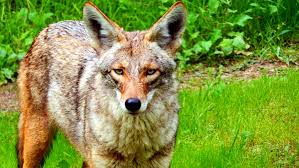 California wildlife images Coyotes up close southern california wildlife jpg