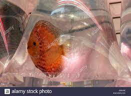 ornamental fish for sale swimming in a plastic bag goldfish