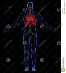 Human Anatomy Martini Skeleton And Respiratory System Stock Photos Image 36789043
