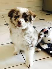 australian shepherd puppy 9 weeks view ad miniature australian shepherd puppy for sale colorado