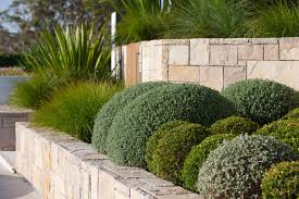 hebe u0027green globe u0027 its moss green foliage forms a tight globe