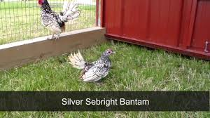 silver sebright bantam chickens for sale chickens for backyards