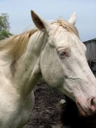 white mustang horse white horse closeup free stock photo public domain pictures
