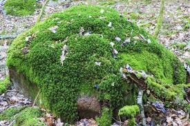 Types Of Garden Flowers - different types of moss u2013 learn about moss varieties for the garden