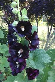Hollyhock Flowers Black Hollyhock Seeds Alcea Rosea Nigra Heirloom Hollyhocks