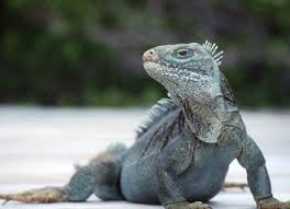 iguana island turks caicos national trust little water cay iguana island