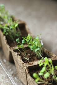 108 best microgreens images on pinterest urban gardening indoor