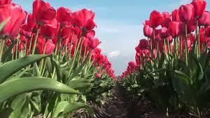 Netherlands Tulip Fields Tulips Fields Keukenhof The Netherlands Hd 1080p Mp4 Youtube