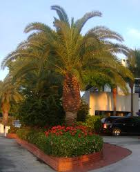 sylvester palm tree sale buy canary island date for sale in orlando kissimmee