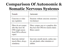 Ans Anatomy And Physiology Autonomic Nervous System Ans Honors Anatomy U0026 Physiology For
