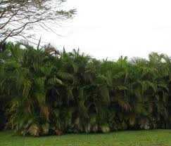 photo of the entire plant of areca palm dypsis lutescens posted