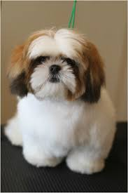 pictures of shih tzu haircuts the 25 best pet shop fortaleza ideas on pinterest shih tzu