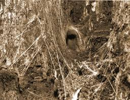 the find a spider guide tree dwelling funnel web