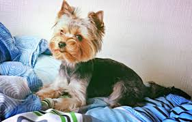 yorkshire terrier coat colors vary puppy